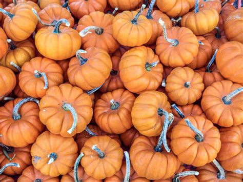 file mini pumpkins jpg
