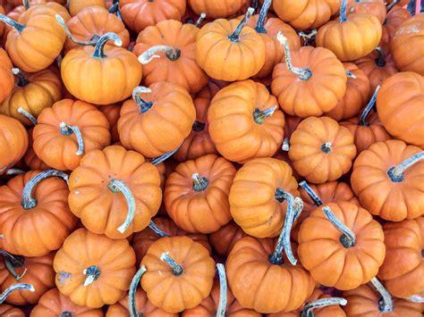 file mini pumpkins jpg wikipedia