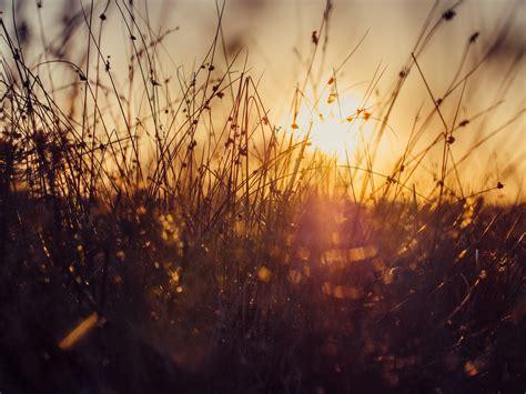 wheat grains  sunset  stock photo