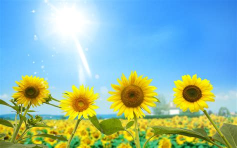 amazing sunflowers wallpapers hd wallpapers id