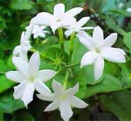 Star Flower Benefits - animals plants rainforest jasmine plant tea benefits