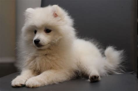 Do Spitz Shed by Calling All Japanese Spitz Owners Weddingbee