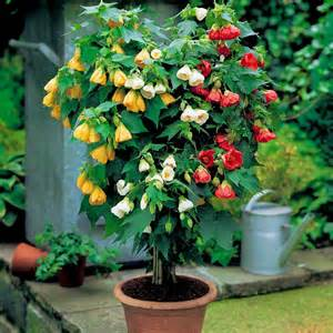 potted patio trees evergreen shrubs