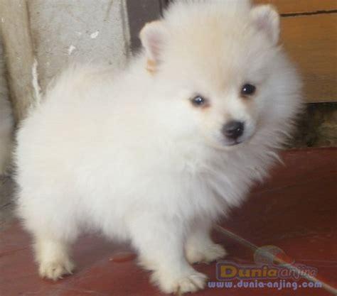 white miniature pomeranian for sale jual anjing pomeranian for sale mini pom jantan white bulu grcom info