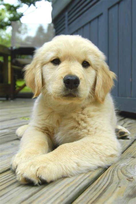 golden retriever puppies price range golden retriever great family other dogs