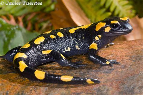 la salamandra fauna en anfibios de andalucia salamandra b 233 tica galer 237 as fotonatura org