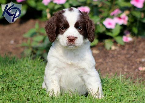 springer spaniels for sale didi english springer spaniel puppies for sale in pa