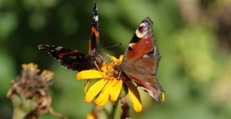 giardino farfalle come attrarre farfalle nel nostro giardino greenme