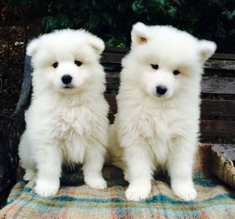 two puppies 40 beautiful samoyed puppy pictures