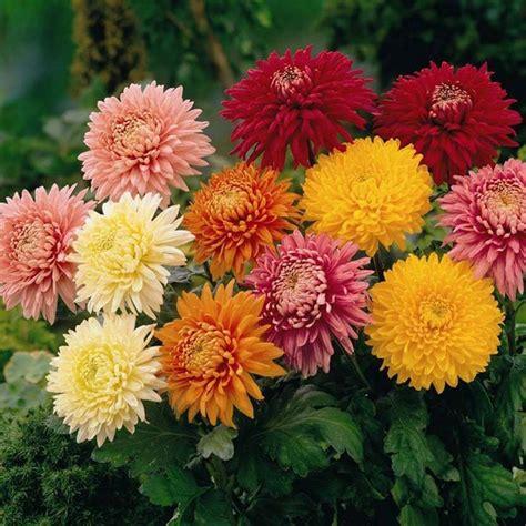 fiore crisantemo il crisantemo fiori in giardino caratteristiche