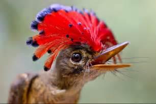 amazonian royal flycatcher bird king of the amazon