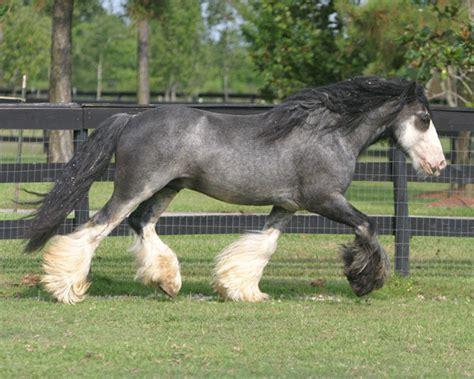 blue horses for sale in blue roan horses for sale bellagiio blue roan stallions