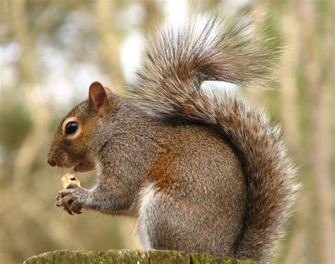 up squirrel squirrels free stock photo up of a squirrel a nut 10027
