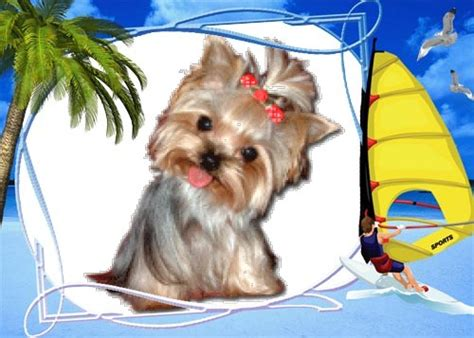 tea cup yorkie clothes teacup yorkie clothes image search results