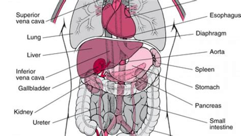 diagram of organs human anatomy charts page 3 of 351 inner anatomy