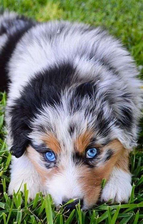 aussie mix puppies for sale maltese puppies for sale from reputable breeders wallpaper