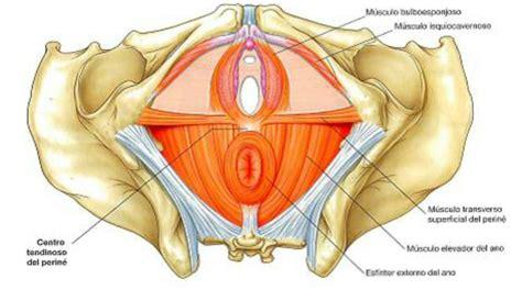 muscoli pavimento pelvico suelo p 233 lvico 171 gema garciag 225 lvez