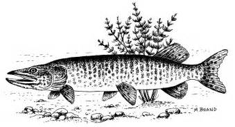 musky drawings submited images