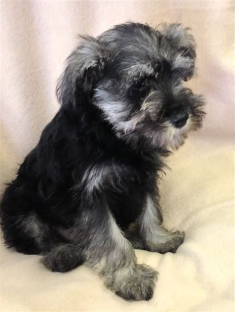 schnauzer puppies for sale in miniature schnauzer puppies for sale in west pets4homes