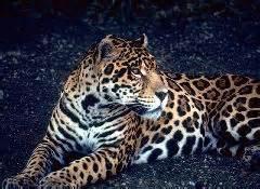 south american jaguar facts cats south american jaguar s trust for