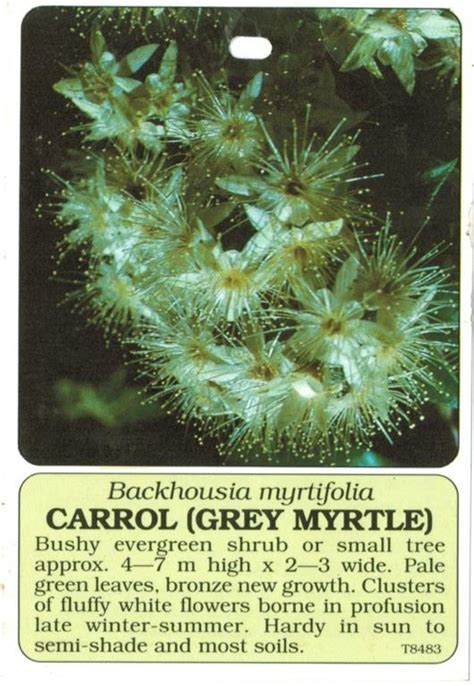 tag grey myrtle carrol backhousia myrtifolia