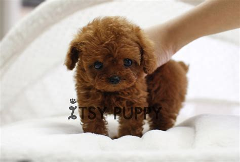 micro poodle puppy sold fefe micro poodle itsy puppy teacup