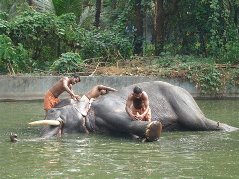 File:Elephant sanctuary Guruvayur.jpg - Wikimedia Commons