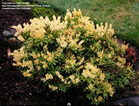 plantfiles pictures japanese pieris andromeda lily of the valley shrub cavatine pieris