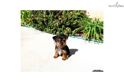 yorkie puppies san diego teacup yorkie puppy for sale in san diego breeds picture