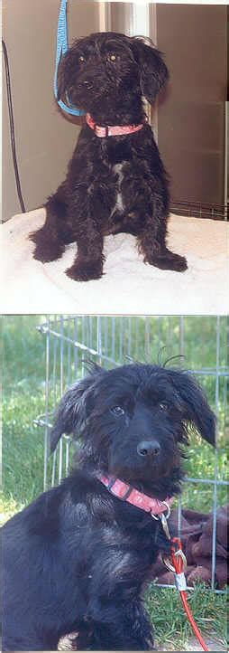 yorkie poo grown up yorkie poo grown image search results picturejpg breeds picture