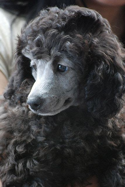 silver poodle puppy 25 best ideas about mini poodles on poodle puppies maltipoo and