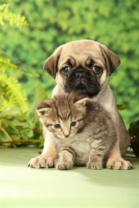 pugs and kittens pug and kitten pugs