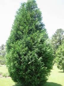 plantfiles pictures leyland cypress x cupressocyparis