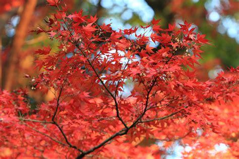 Japanischer Ahorn Winterhart 2424 by Japanischer Ahorn Winterhart Japanischer Ahorn Wie