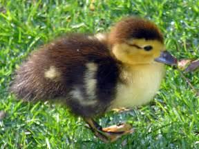 duckling image file parrulo muscovy duckling jpg