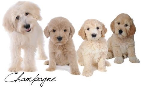 goldendoodle club of america goldendoodle colors 28 images goldendoodle puppy