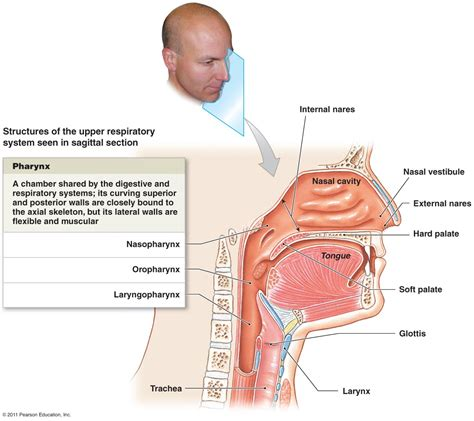 labelled diagram of the nose respiratory system