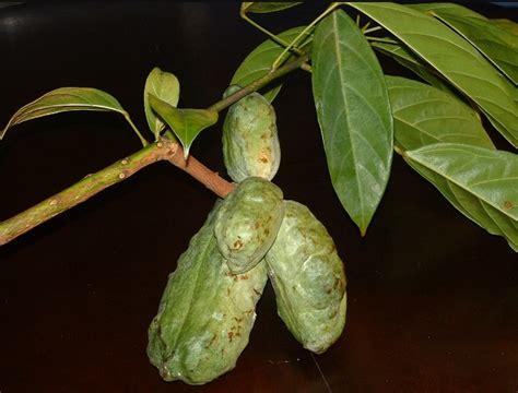 Obat Colla daftar tanaman obat lengkap beserta gambar dan khasiatnya