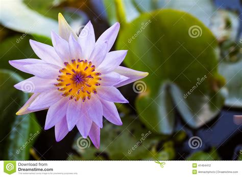water flower bloom water sparkle lotus flower water purple lotus flower or water flowers blooming stock