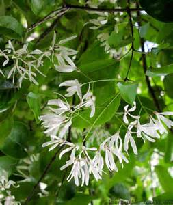 what tree has small white fragrant flowers yahoo answers