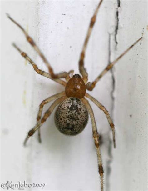 common house spiders in pa common house spider parasteatoda tepidariorum photo ken lebo photos at pbase com