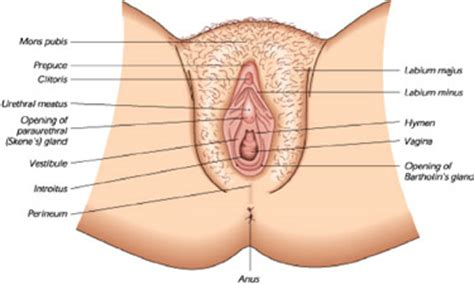diagram hymen ring sits just inside the entrance to there is