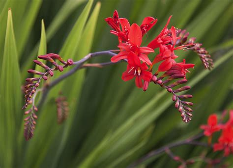 crocosmia planting tips when and how to plant crocosmia