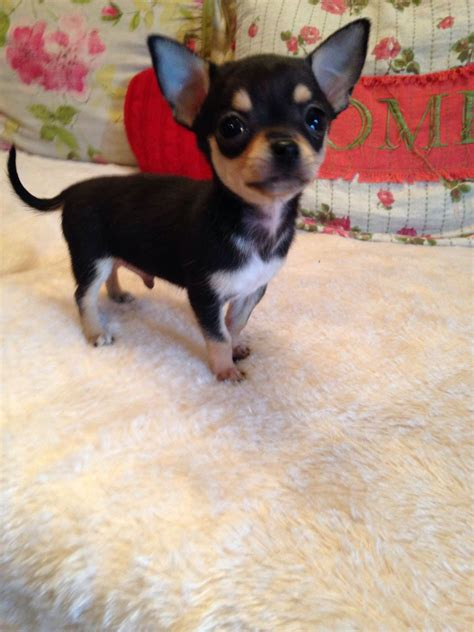 chihuahua puppy for sale beautiful tiny teacup chihuahua puppy for sale newark nottinghamshire pets4homes