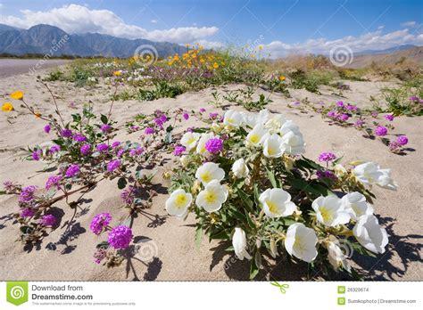 anza borrego wildflower photo wildflower in anza borrego desert royalty free stock image