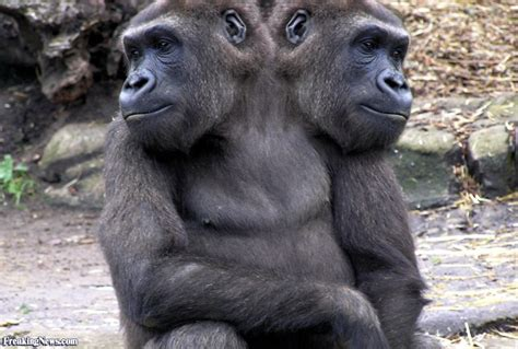 two headed two headed gorilla pictures freaking news