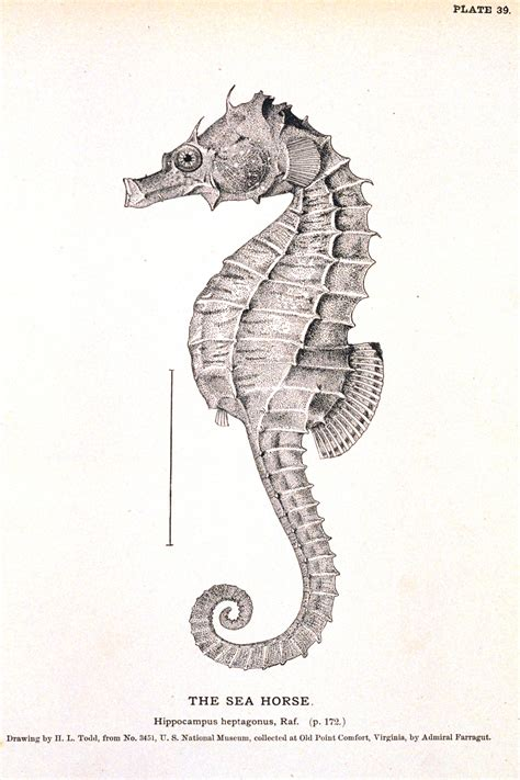 printable art tumblr animal curiosity seahorse vintage printable at