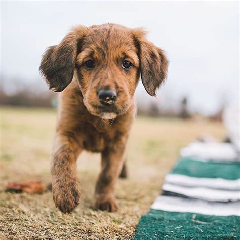 golden retriever and chocolate lab mix best 25 golden retriever lab mix ideas on