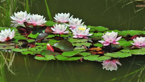 Lillie Flowers - water lilies blooming extraordinary time lapse symphony