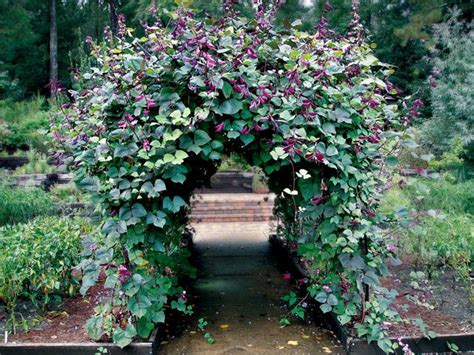 fast growing climbing plants for fences clad growing now hyacinth bean vine will cover
